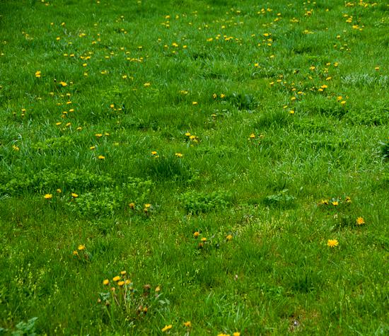 dandelion-flowers-many